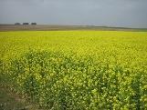 Cr moutarde en fleurs 5