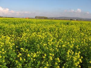 Moutarde en fleurs