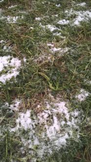 Roulage rouleau cambridge phacelie ta sur sol gele 5 1
