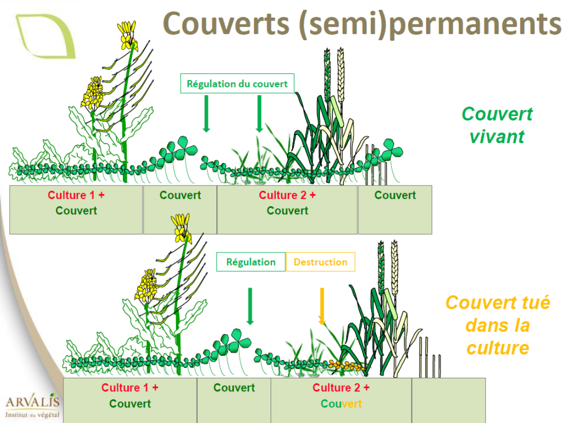 Arvalis semis direct du froment dans couvert vivant ou detruit 3