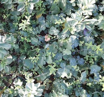 Trèfle d'Alexandrie, lentille, féverole et colza octobre 2018 (ASBL Greenotec)