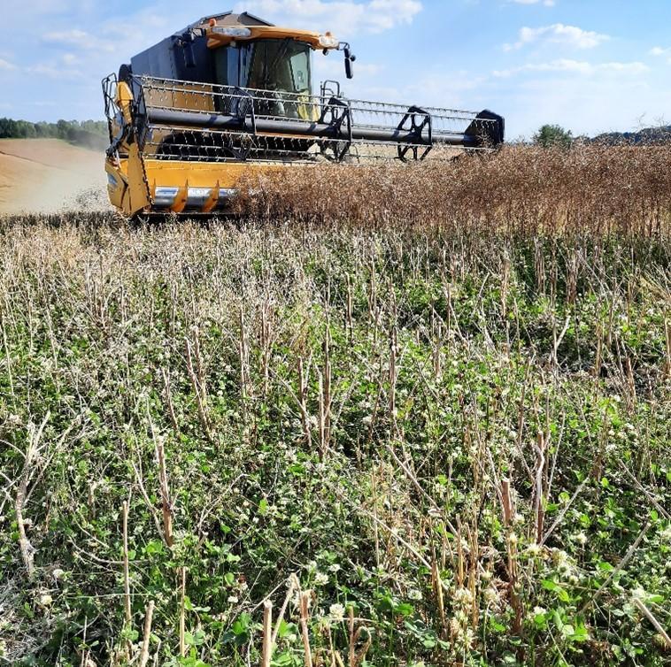 Récolte colza avec trèfle blanc présent à la récolte juillet 2020 (ASBL Greenotec)