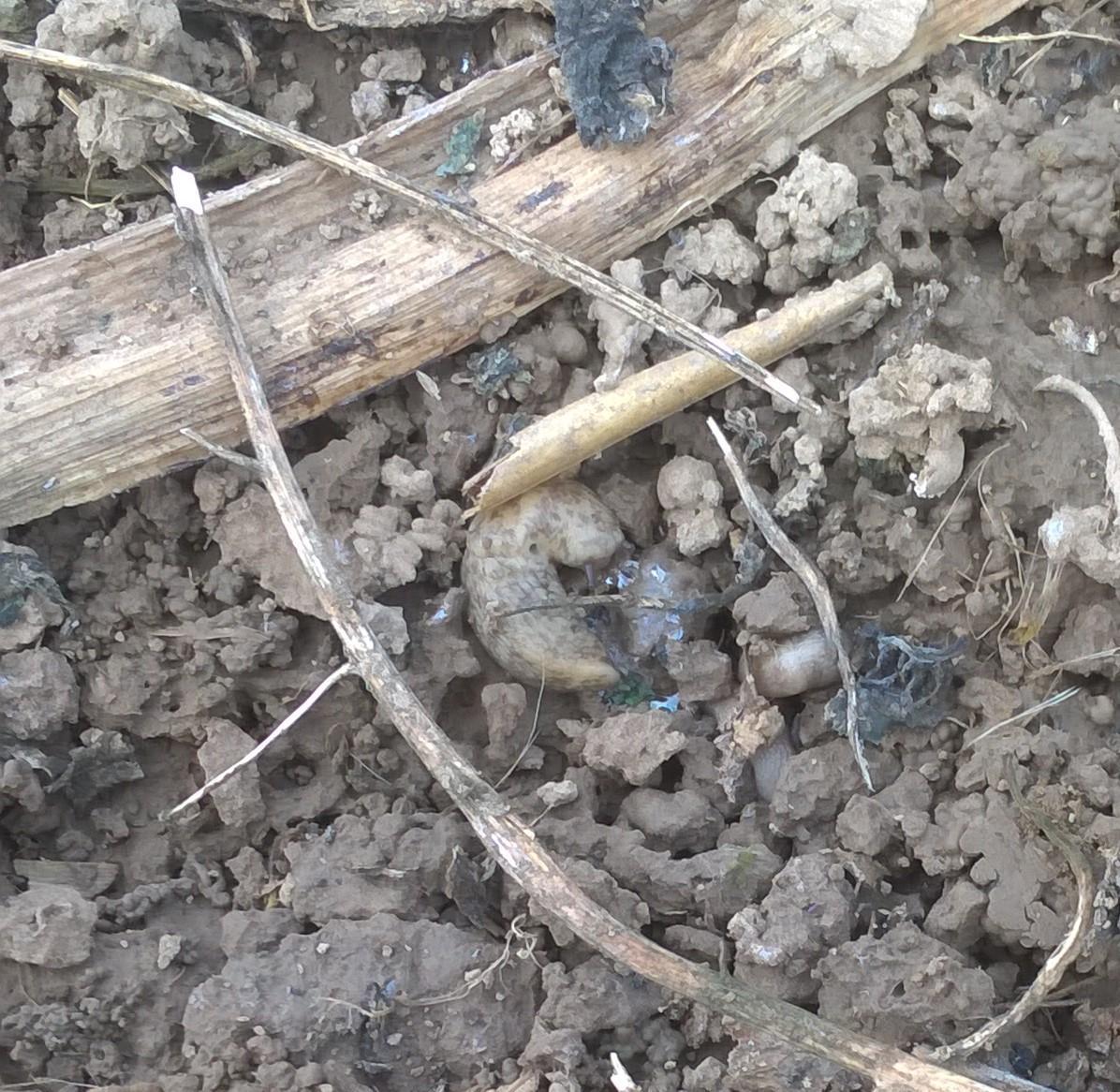 Limace sous mulch 2